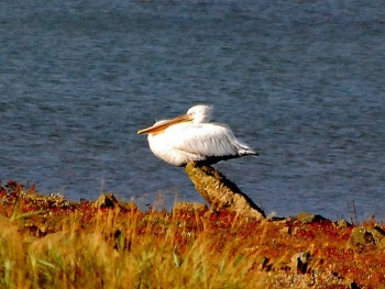 Pelican photo taken by Mr James Bell