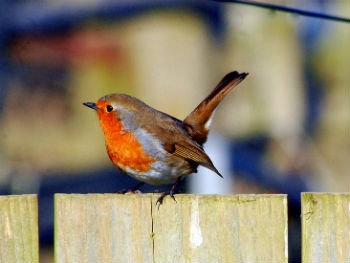 Photo Gallery Image - Robin