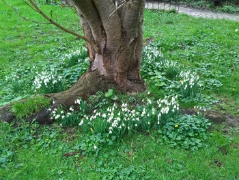Snow drops at The Village Green Fremington